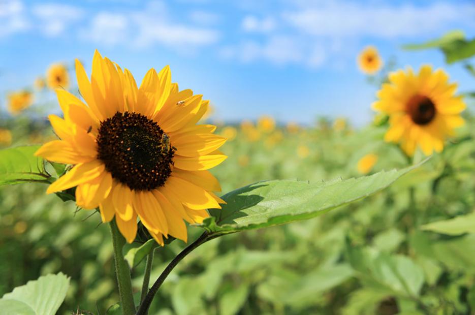Erneuerbare Energie, Sonnenblumen auf einem Feld, Acker für Energiepflanzen. Deutschland, reportage_foto_energie_pflanzen_sonnenblumen_klewar-photographie